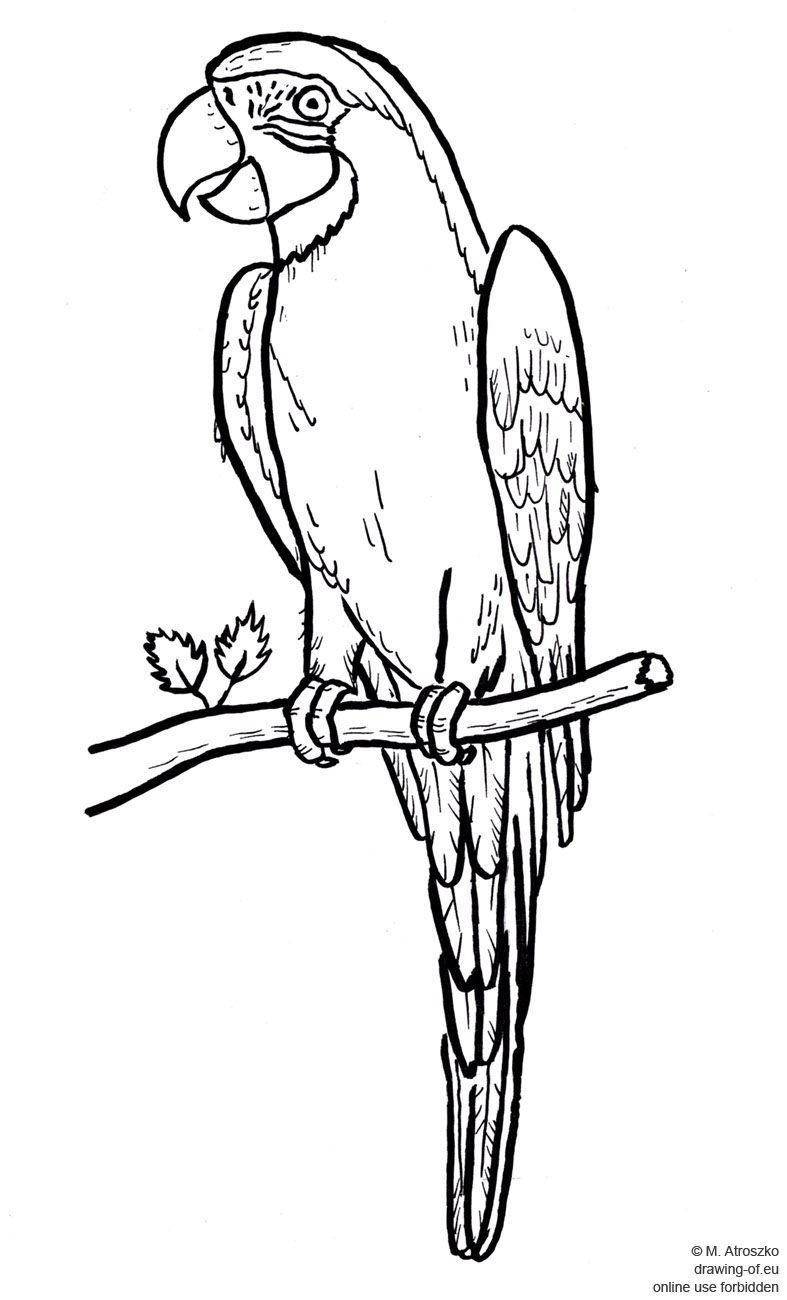 787x1300 Drawing Of Parrot Drawing Of Eu