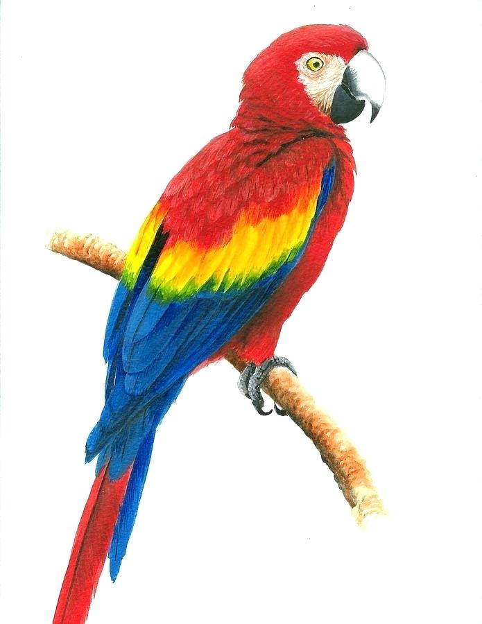 695x900 Drawing Of Parrot