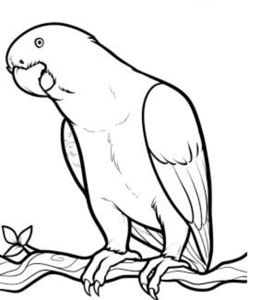 545x600 Download Pictures Of Parrots To Draw Free Coloring
