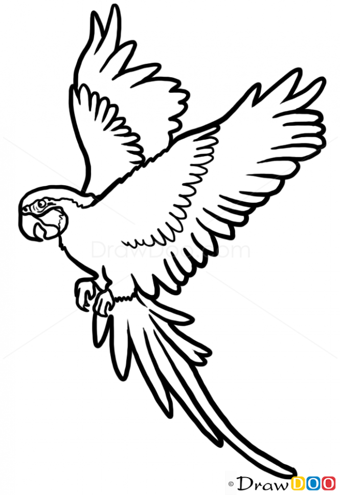 Parrot Drawing Images