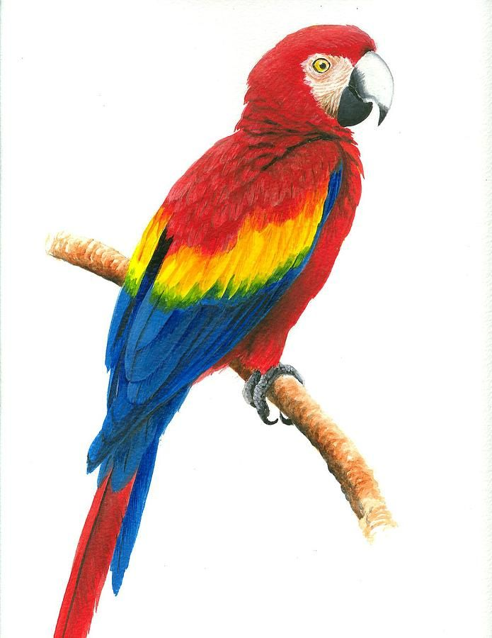 695x900 Scarlet Macaw Painting