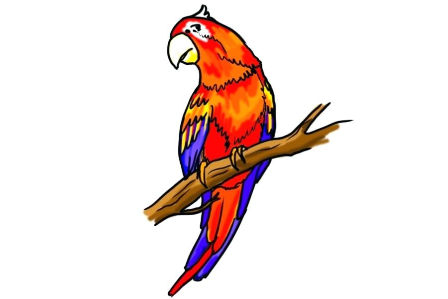 900x600 Drawing A Parrot How Parrot Drawing Images Step