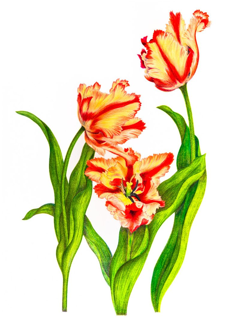 794x1059 Parrot Tulip Nature Colored Pencil Drawing Reproduction Fine Etsy