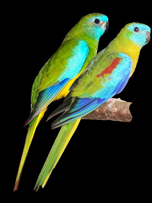 486x647 Parrots Drawing Free Download On Unixtitan