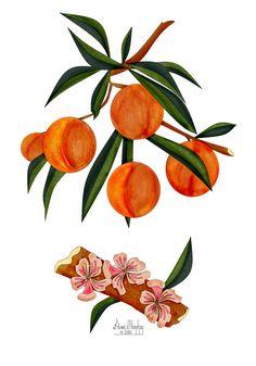 Peach Blossom Drawing