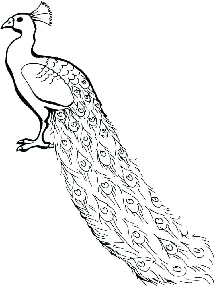 Peacock Bird Drawing
