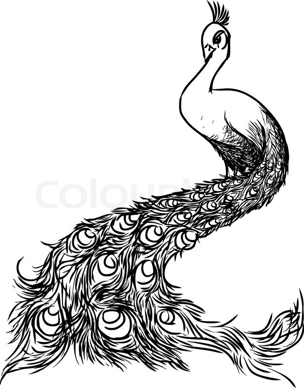 Peacock Black And White Drawing