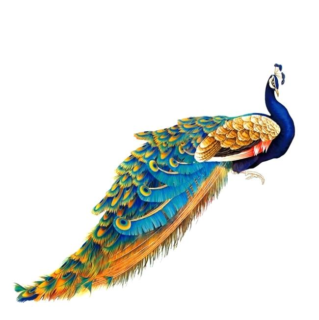 Peacock Drawing With Colour