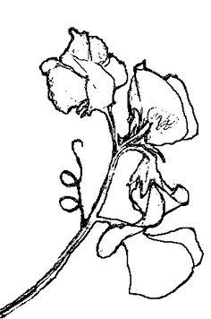 236x356 best drawing flower ideas images sweet pea flowers, sweet