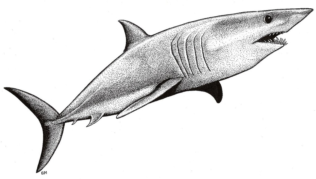 1024x579 Mako Shark Picture Pen And Ink Drawing Of A Mako Shark