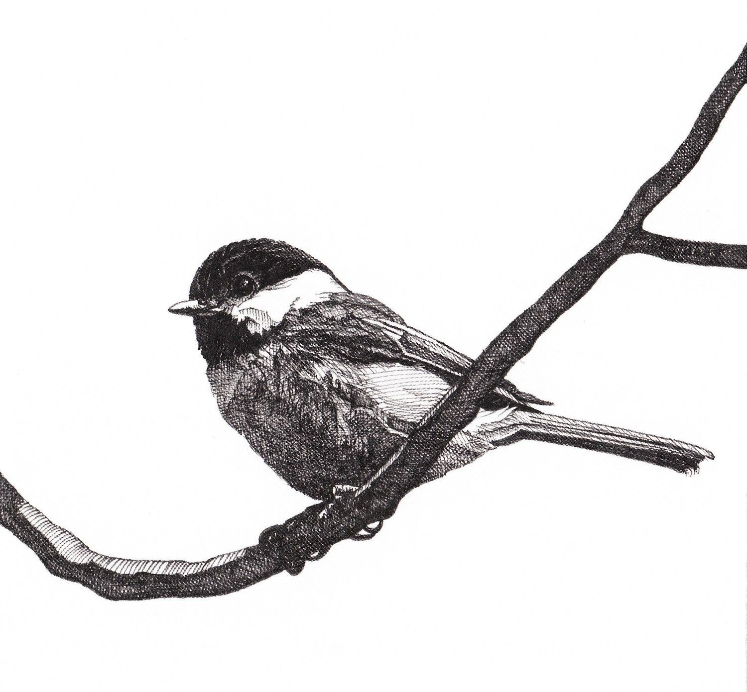 1500x1391 Pen And Ink Drawing Reproduction Black Capped Chickadee Note Cards