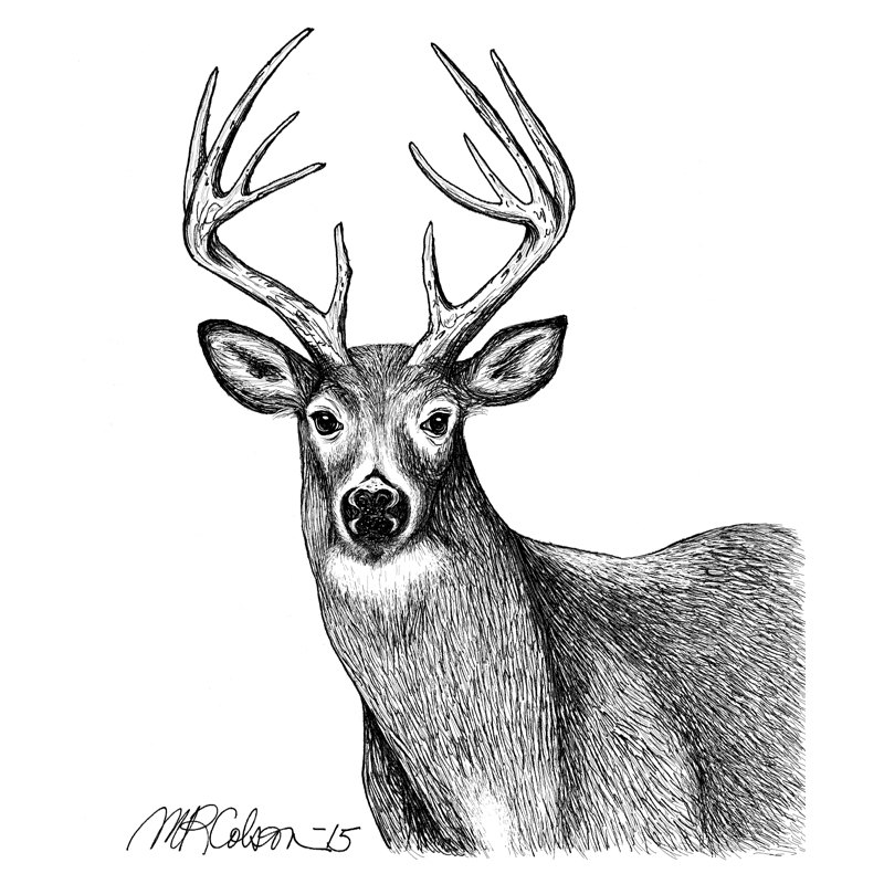 800x800 White Tailed Deer Pen And Ink Print Etsy
