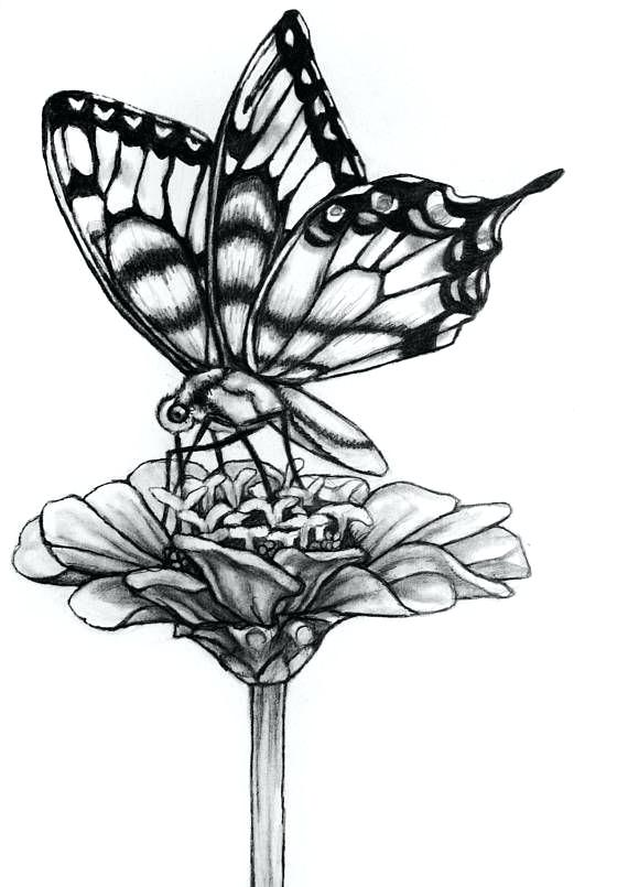 570x805 Drawings Of A Butterfly Original Butterfly Flower Pencil Drawing