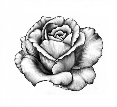 480x438 Pencil Drawings Of Flowers Lilly In Pencil Drawings