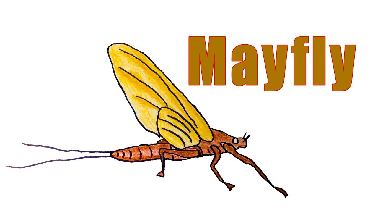 1280x720 How To Draw A Mayfly