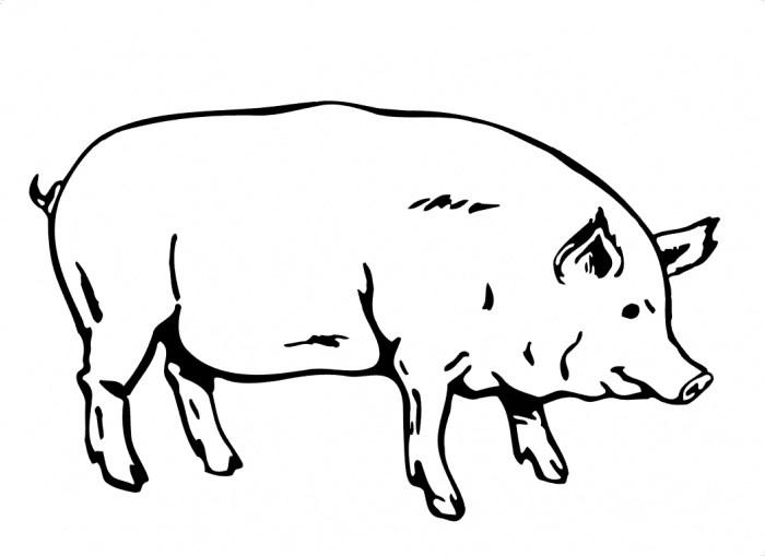 700x509 Pig Drawing Clipart Clipart Portal