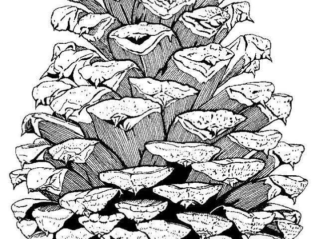 640x480 Free Drawn Pine Cone, Download Free Clip Art