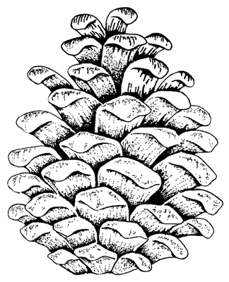 324x400 Pine Cone Png Images In Collection