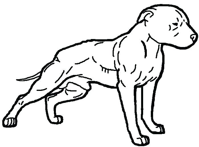698x516 Pitbull Drawing