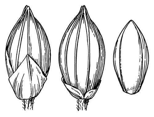 500x381 Panicum Philadelphicum Subsp Gattingeri