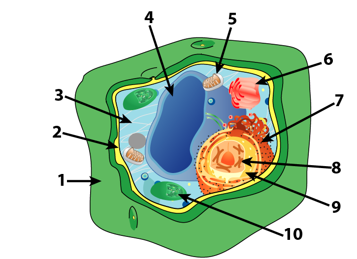 Plant Cell Drawing | Free download on ClipArtMag