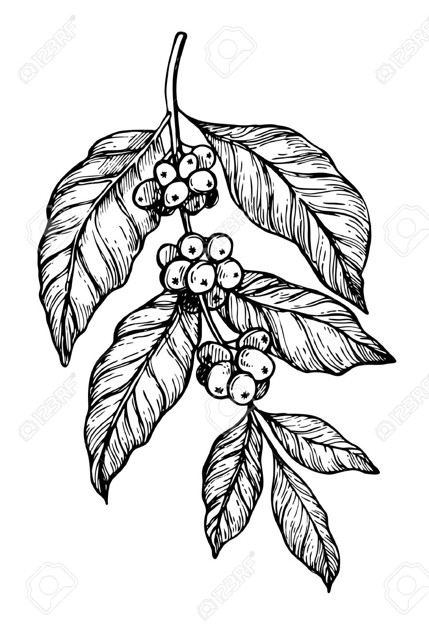 882x1300 Huge Collection Of 'coffee Plant Drawing' Download More Than