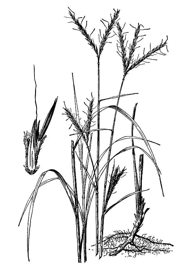 600x900 Large Image For Andropogon Gerardii