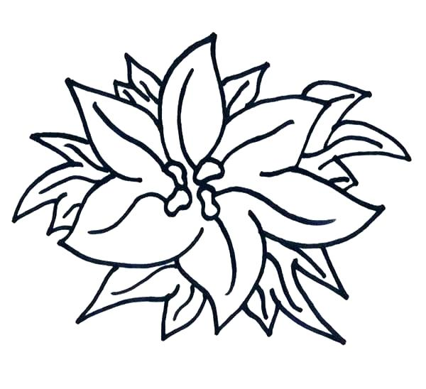 600x548 poinsettia coloring pages poinsettia coloring pages poinsettia