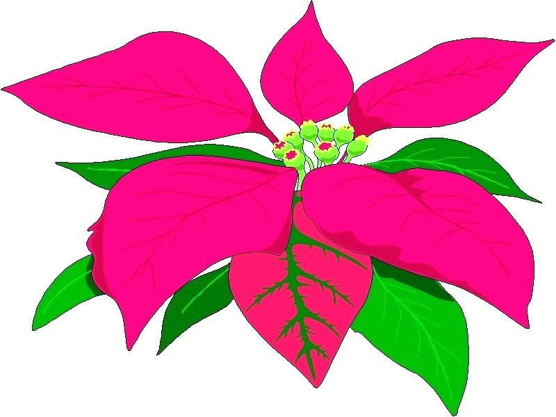 800x600 poinsettia pictures free poinsettia pictures free download