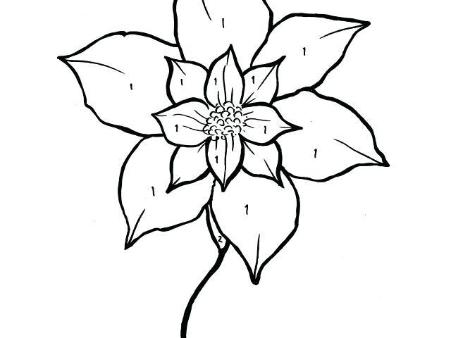 640x480 premium poinsettia coloring flawless poinsettia flower