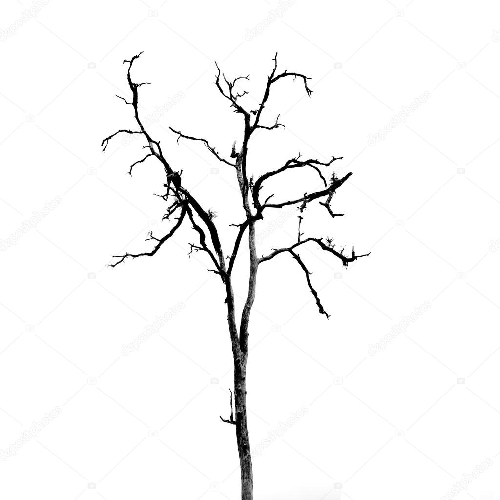 Potato Plant Drawing