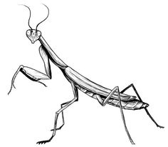 236x206 Best Mantis Images Praying Mantis, Drawings, Insects