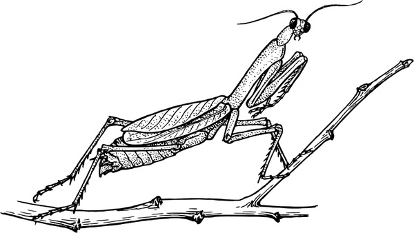 600x338 Mantis Free Vector In Open Office Drawing