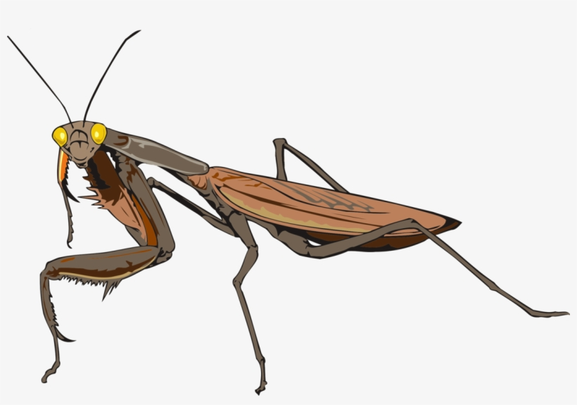 820x575 Mantis Les Insectes Animal Drawing