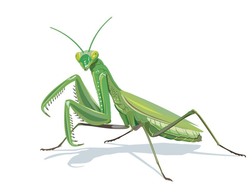 793x595 Praying Mantis Drawing