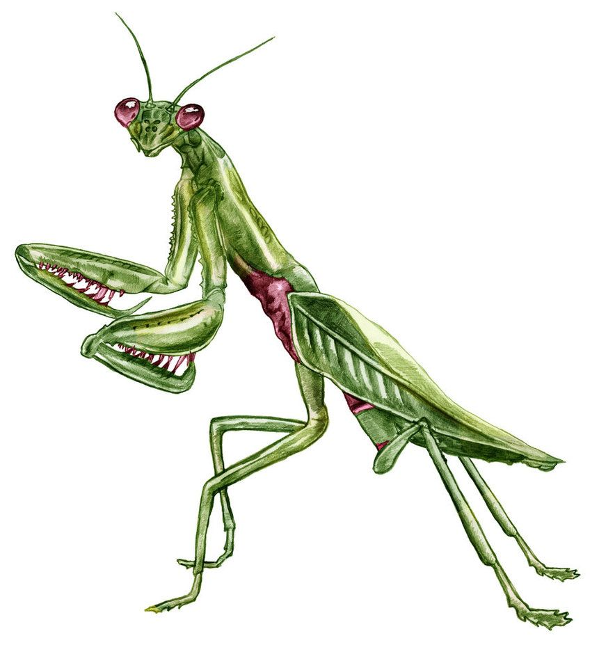 861x927 Praying Mantis Drawing Wallpapers Gallery Body Works