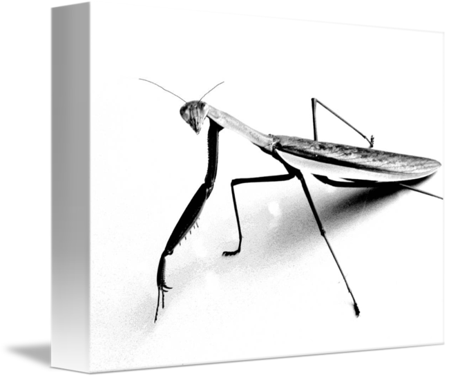 650x547 Praying Mantis Pencil Sketch