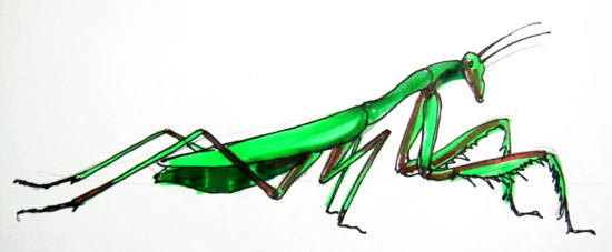 550x227 How To Draw A Praying Mantis