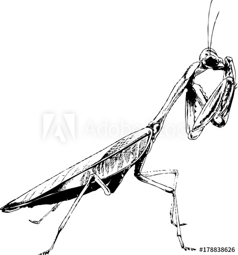 467x500 Insect A Praying Mantis Drawn In Ink