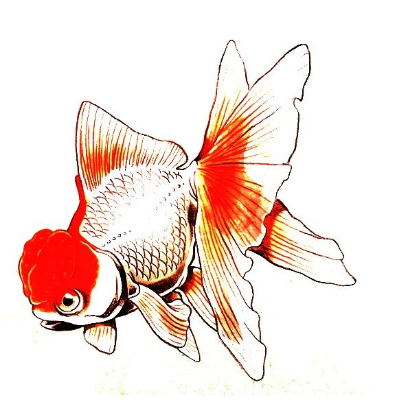 578x586 goldfish in oranda goldfish, koi