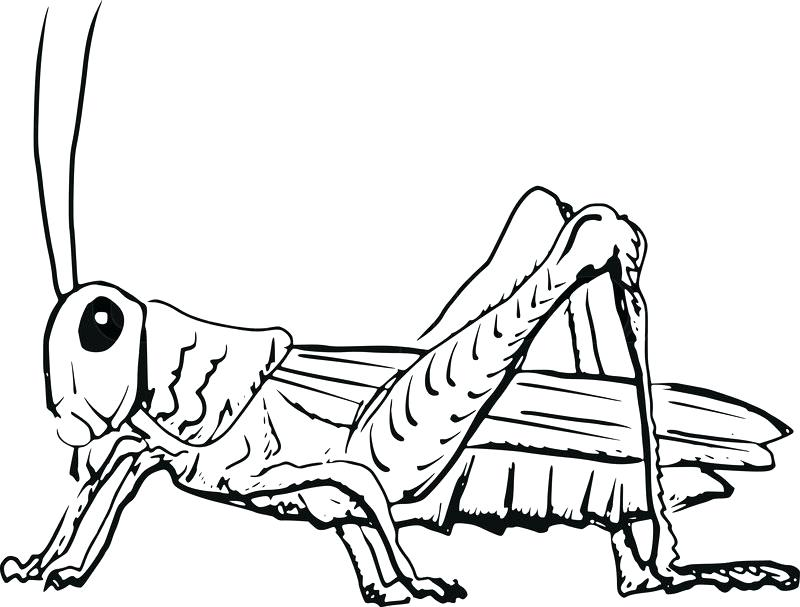 800x607 Grasshopper Drawing Medium Size Of Coloring Drawings Online Pages