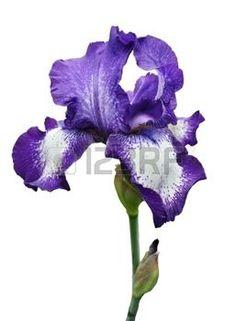 Purple Iris Drawing