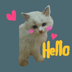 240x240 Ragdoll Cat Michael Line Stickers Line Store