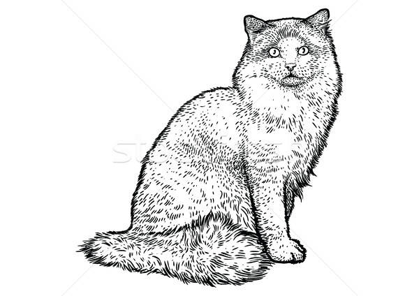 600x424 Ragdoll Cat Illustration, Drawing, Engraving, Line Art, Vector