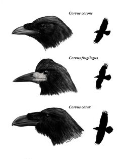 236x314 delightful raven ink ideas images ravens, raven, drawings