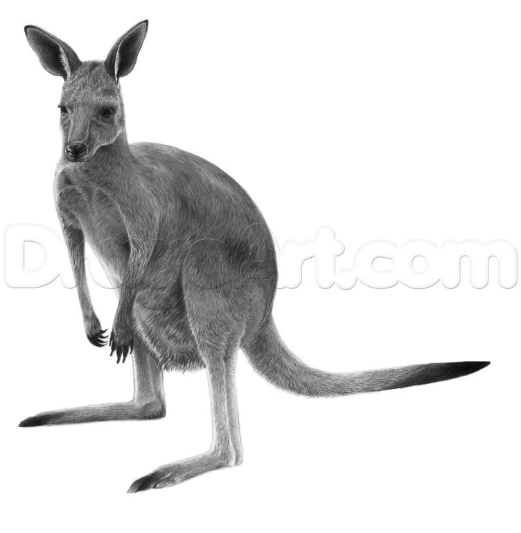 752x769 How To Draw A Realistic Kangaroo, Step