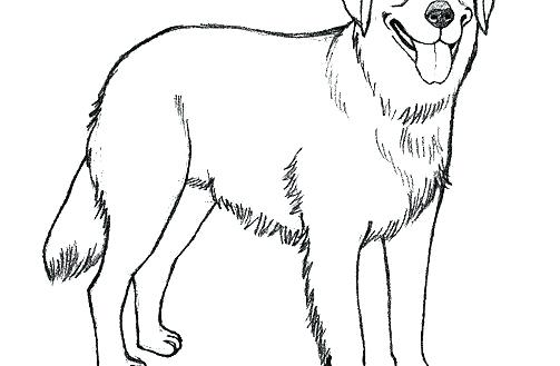 503x329 Draw A Golden Retriever Golden Retriever Coloring Pages Realistic