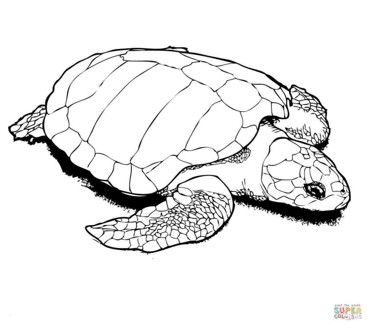 1217x1078 How To Draw A Realistic Baby Turtle