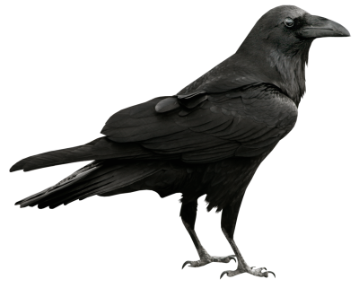 400x321 Drawing Raven Realistic Transparent Png Clipart Free Download
