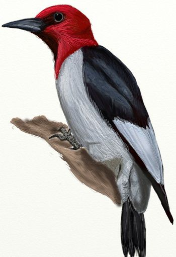 350x511 How To Draw A Woodpecker Step